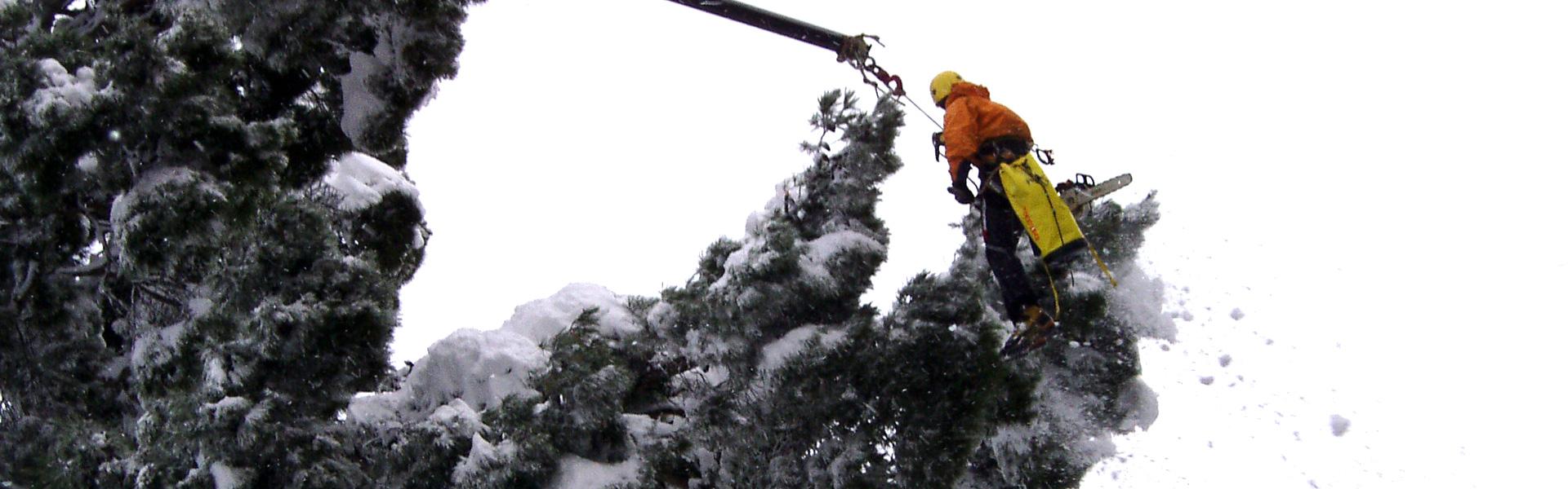 Un addetto al lavoro in quota su piattaforma intento nella rimozione di cumuli di neve su un albero ad alto fusto